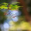 早春の紅葉(モミジ)6