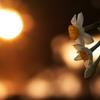 夕日と日本水仙2