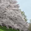淀川河川公園背割堤の桜並木3