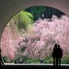 ミホミュージアムのしだれ桜2