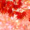 神戸市立森林植物園にて5(モミジ)