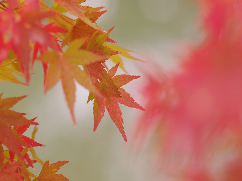 紅葉(もみじ)の紅葉(こうよう)1