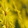 黄色い花(マーガレット・コスモス)