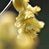 春を運ぶ花々9(トサミズキ)