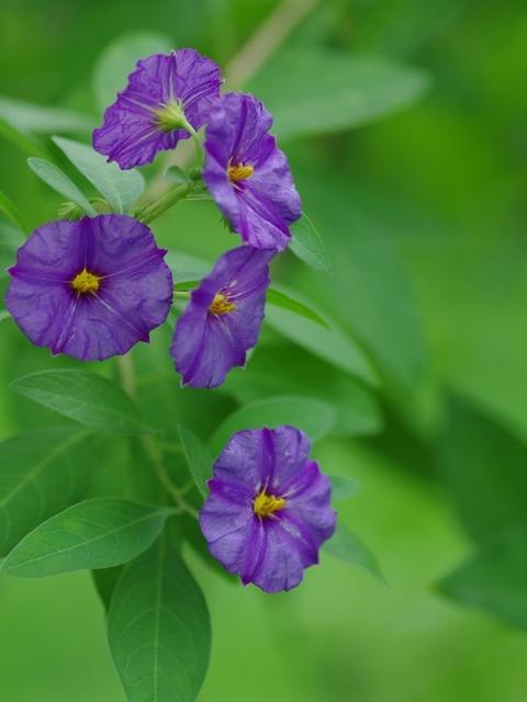 紫色の花?