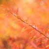 冬の雪柳(ユキヤナギ)