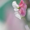 豌豆(エンドウ)の花