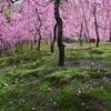 京都は城南宮のしだれ梅2