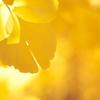公園の黄葉(イチョウ)