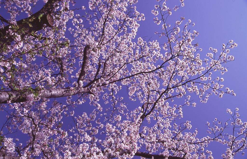 桜 ~青空へ~