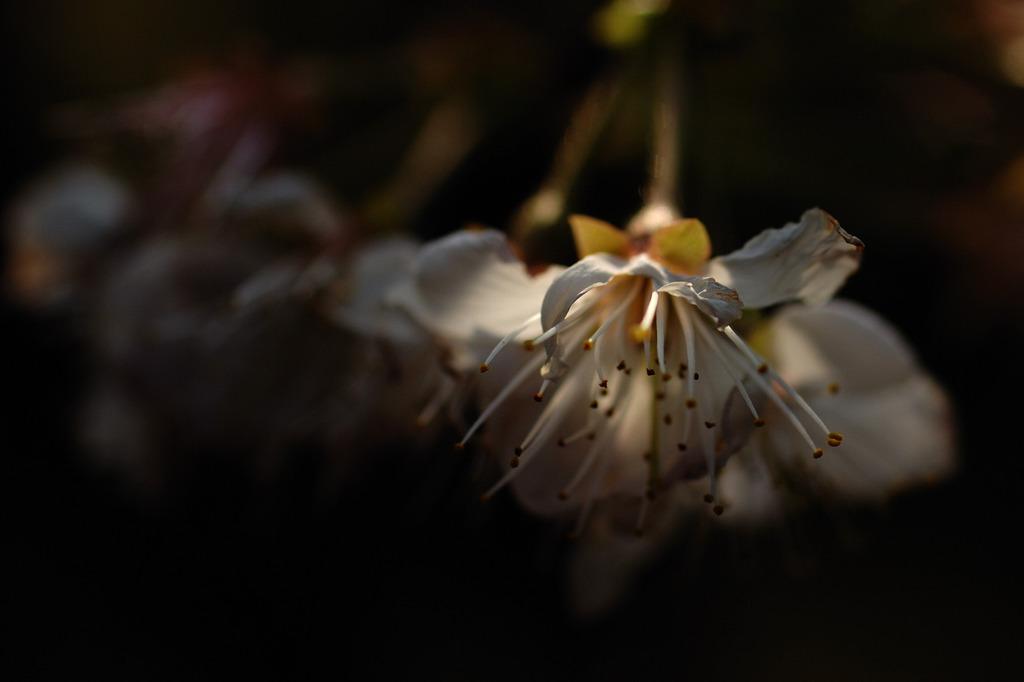 桜 終わる
