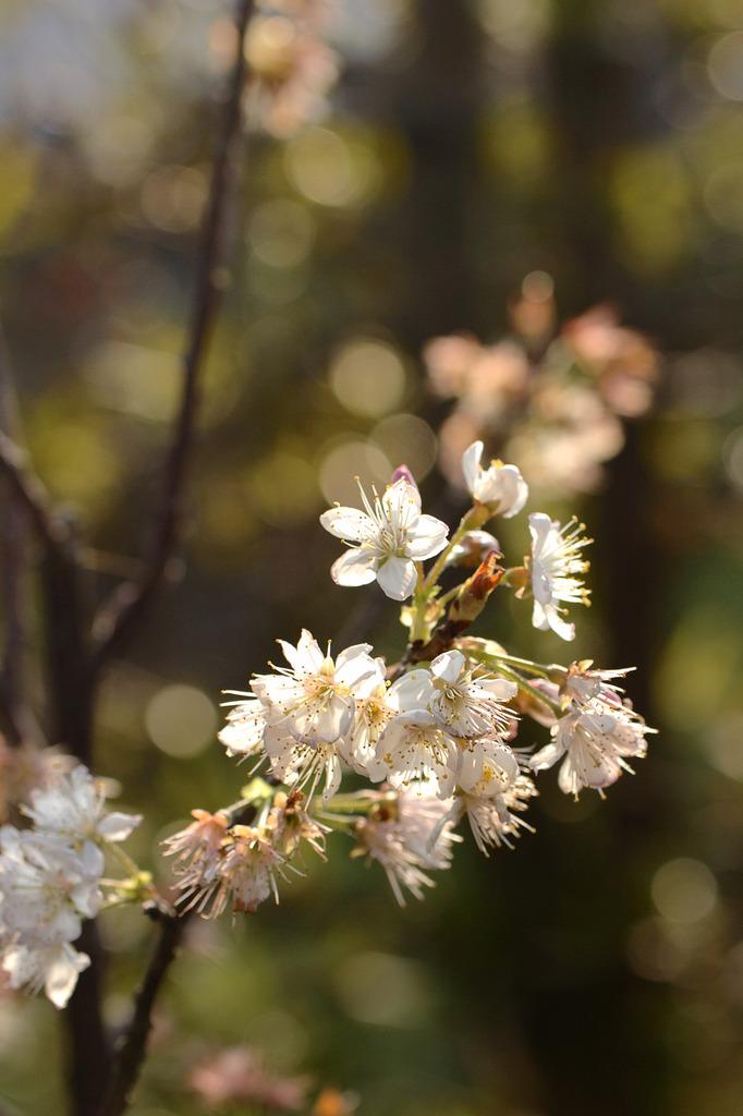 桜 がんばれ