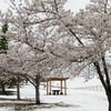 桜と雪景色