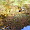 透明な池をゆく鴛鴦。