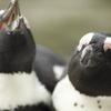 二羽のペンギンさん