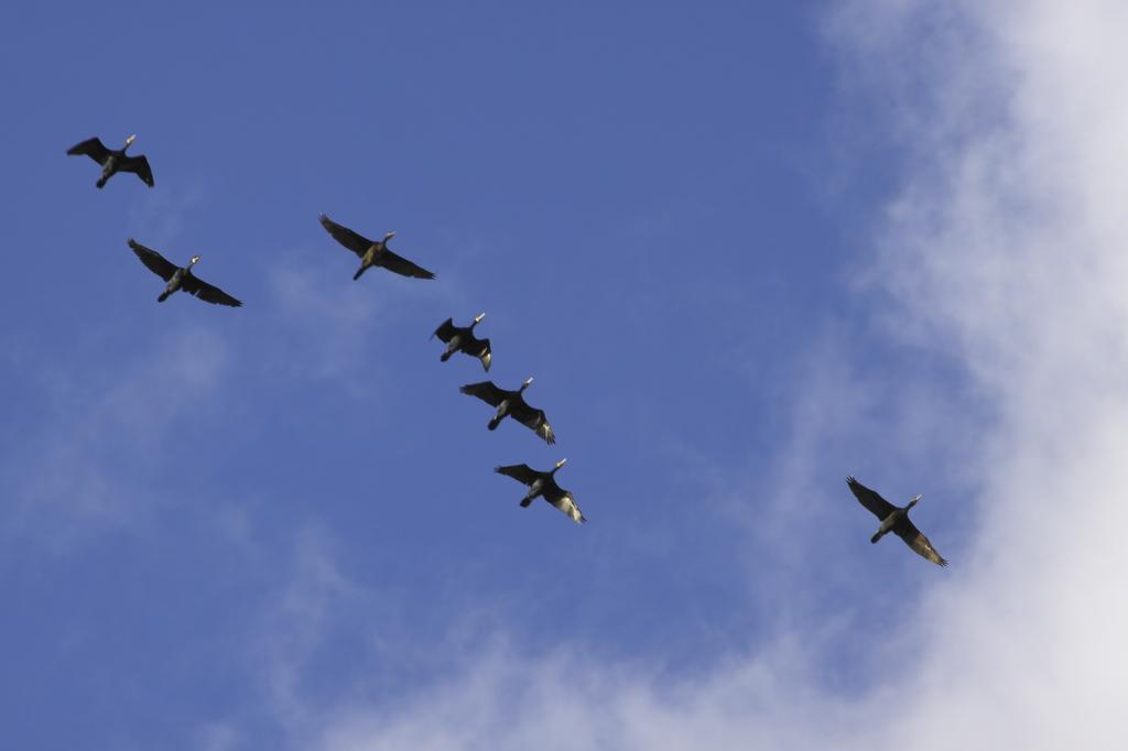 カワウの飛行隊
