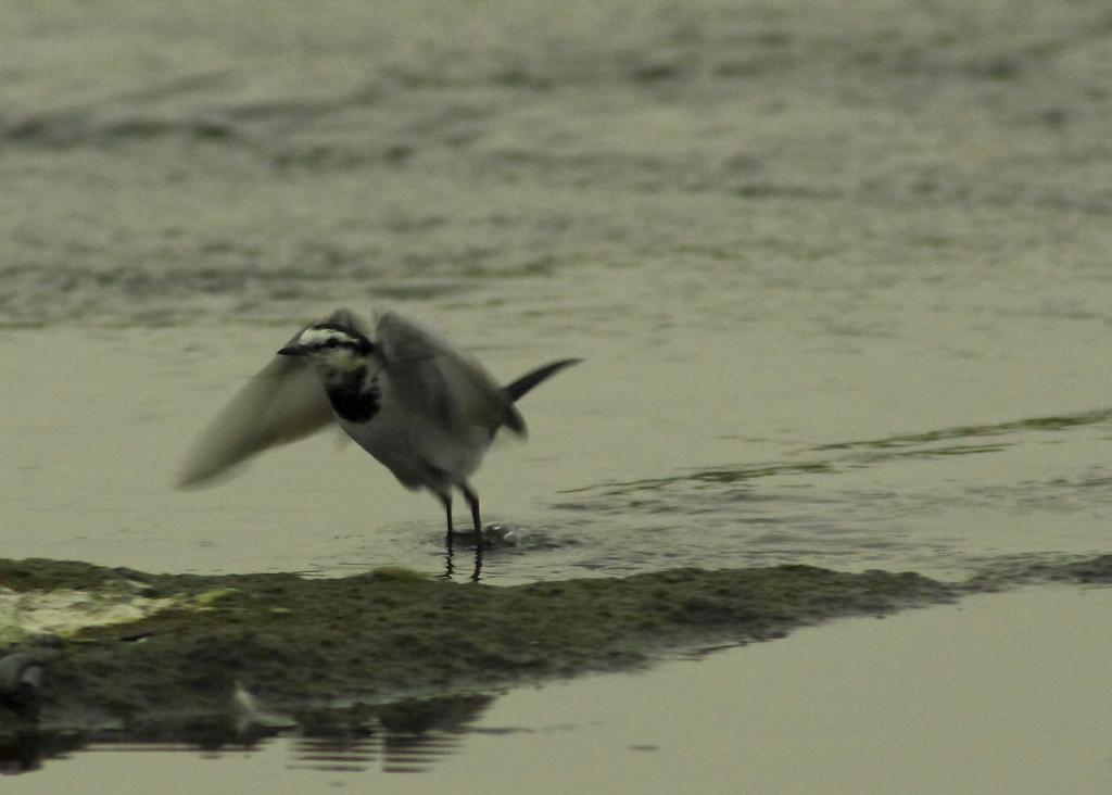 水辺では、ジャンプせずそのまま飛翔するセキレイ