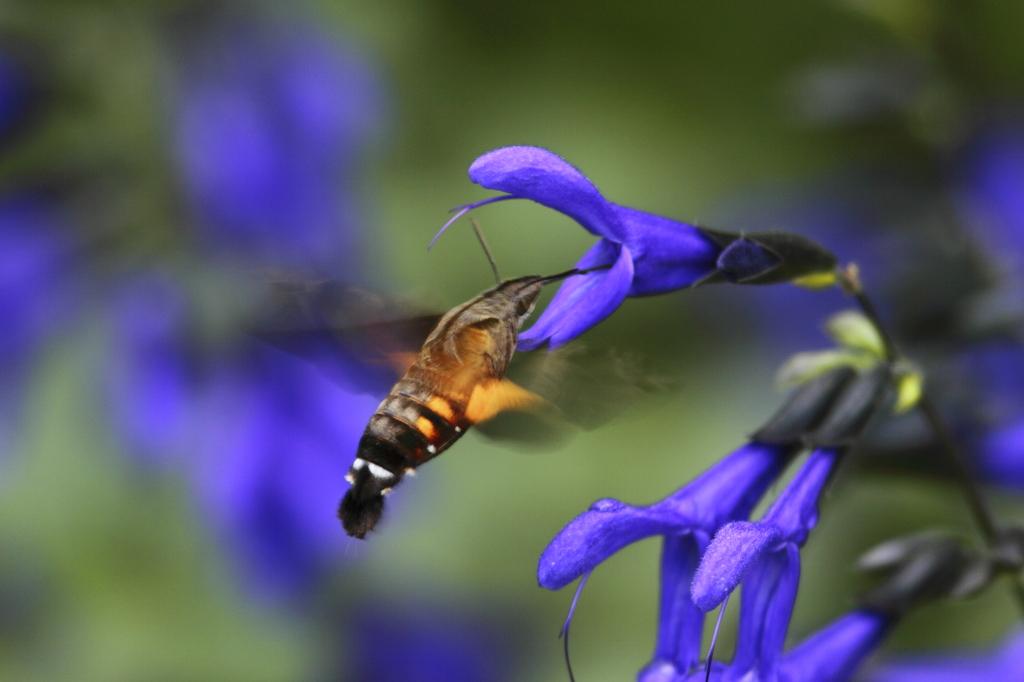 青い花とスズメガ(300mmで)