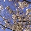 咲き始めの櫻と青空