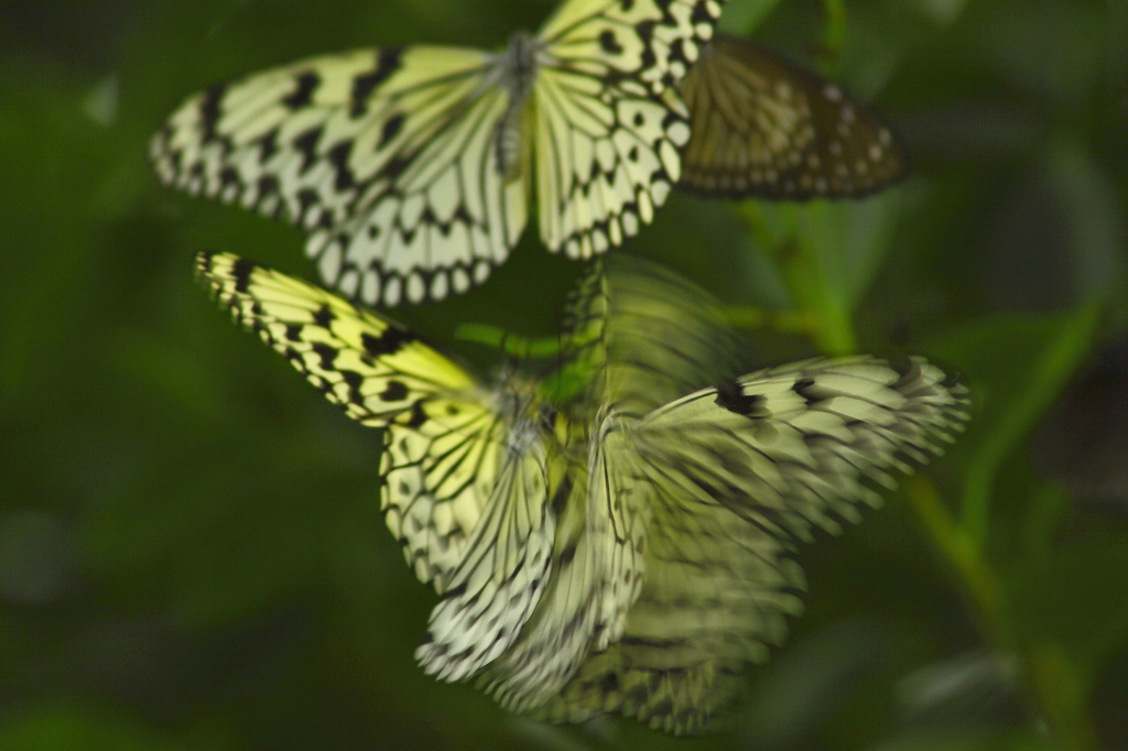 蝶、そして蝶舞う