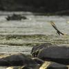 川面を飛翔するセキレイ