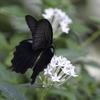 白い花と黒い蝶