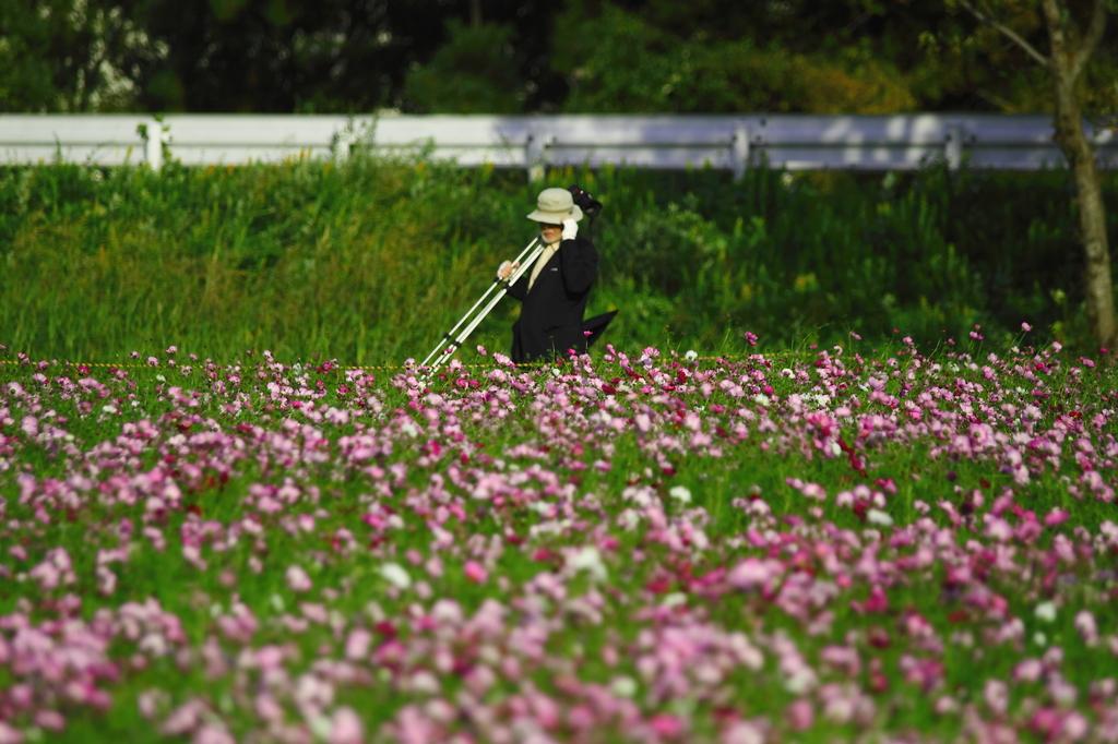 55万本の秋桜を撮影する写真家