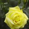 雨に濡れた薔薇