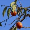 青空と柿の実