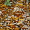 水面を彩る枯れ葉
