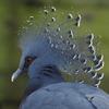 美しき孔雀冠