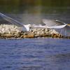翼をひろげ白鷺の立つ…。