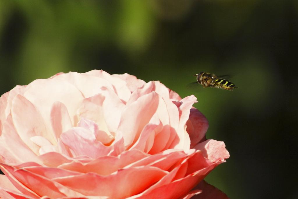 薔薇に接近中
