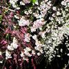 善徳寺のしだれ桜