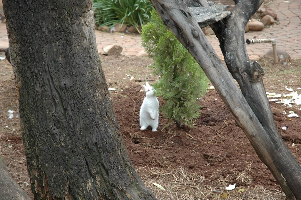 ウサギの背伸び