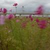 コスモス畑2
