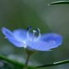小さい春(オオイヌノフグリ)