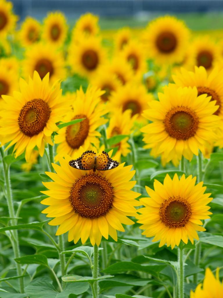 花開き蝶とまる