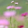 コスモス-夜空に大輪の花・・・カナ