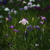花しょうぶ祭り-1