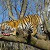 タイガー 2010