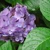 住宅地の紫陽花、雨