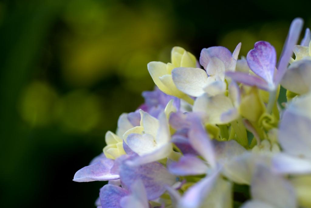 紫陽花の微笑