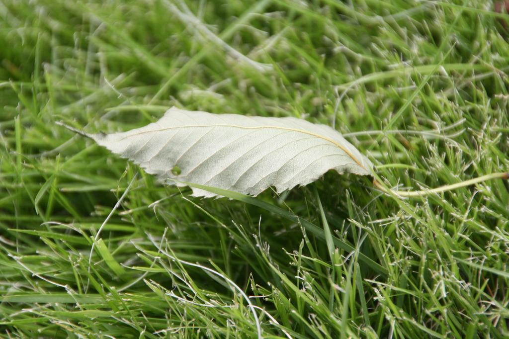芝生に葉っぱ。