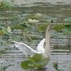 2009_0616_120652-CIMG0059  白鳥