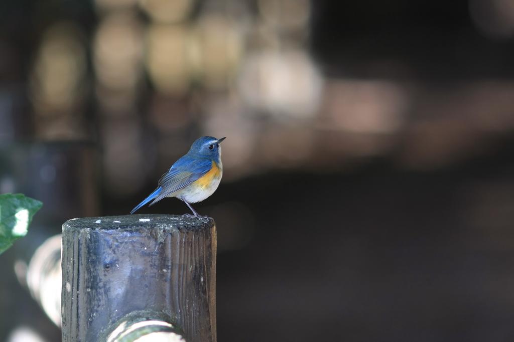 野鳥図鑑用・ルリビタキ