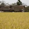 黄金の絨毯と茅葺