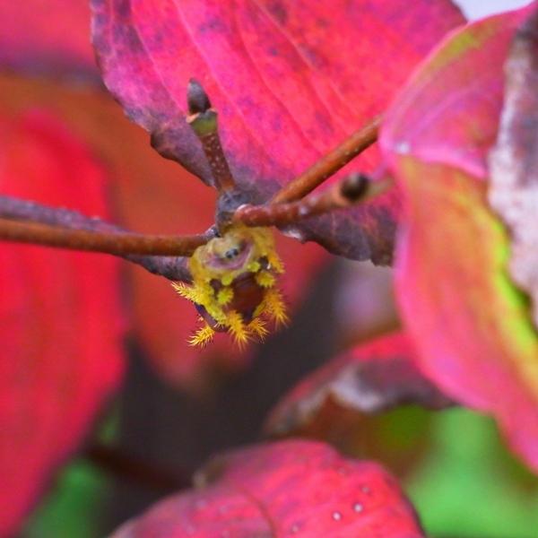 秋色の毛虫
