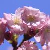 彌彦の紅桜