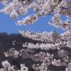 弥彦山とソメイヨシノ